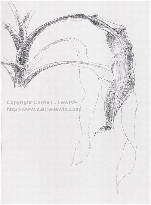sketch of corn plant