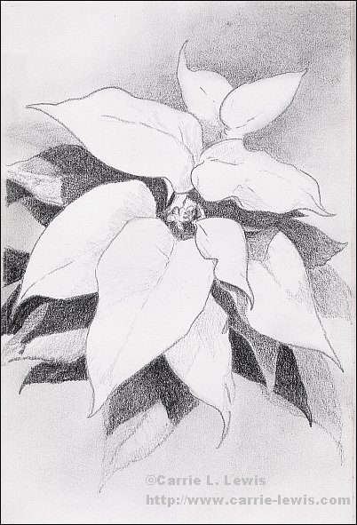 Drawing of Poinsettia