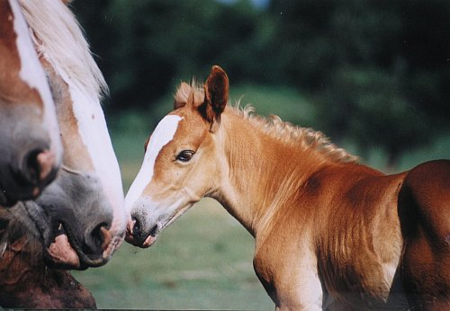 Photo of Belgian foal
