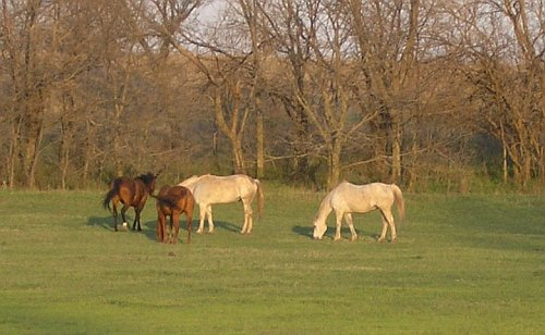 Horses grazing in spring pasture.