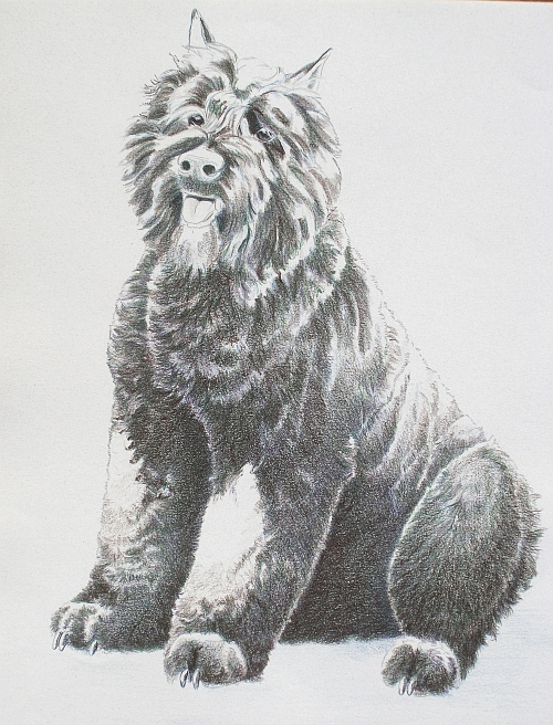 How to Draw a Dog in Colored Pencil Part 3 - Dark Umber Layer
